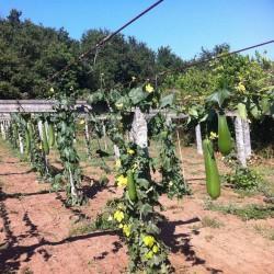Éponge Naturelle de Luffa -Fruit entier-